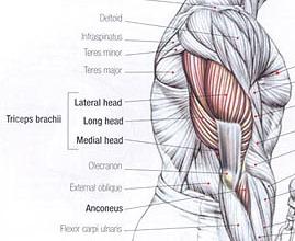 triceps 2