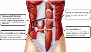abdominal-muscles-anatomy