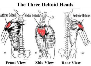 deltoids1