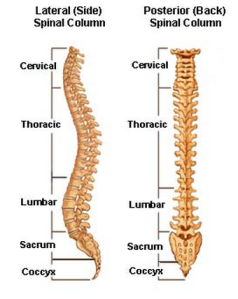 side-view-of-spine